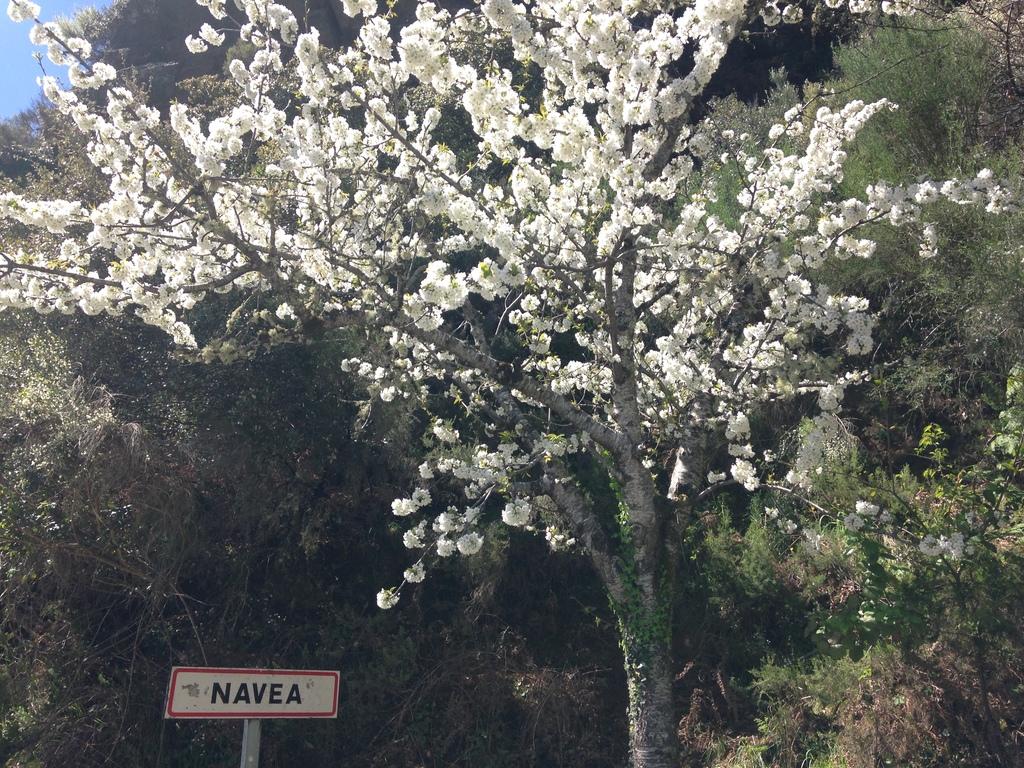Cerdeira en flor