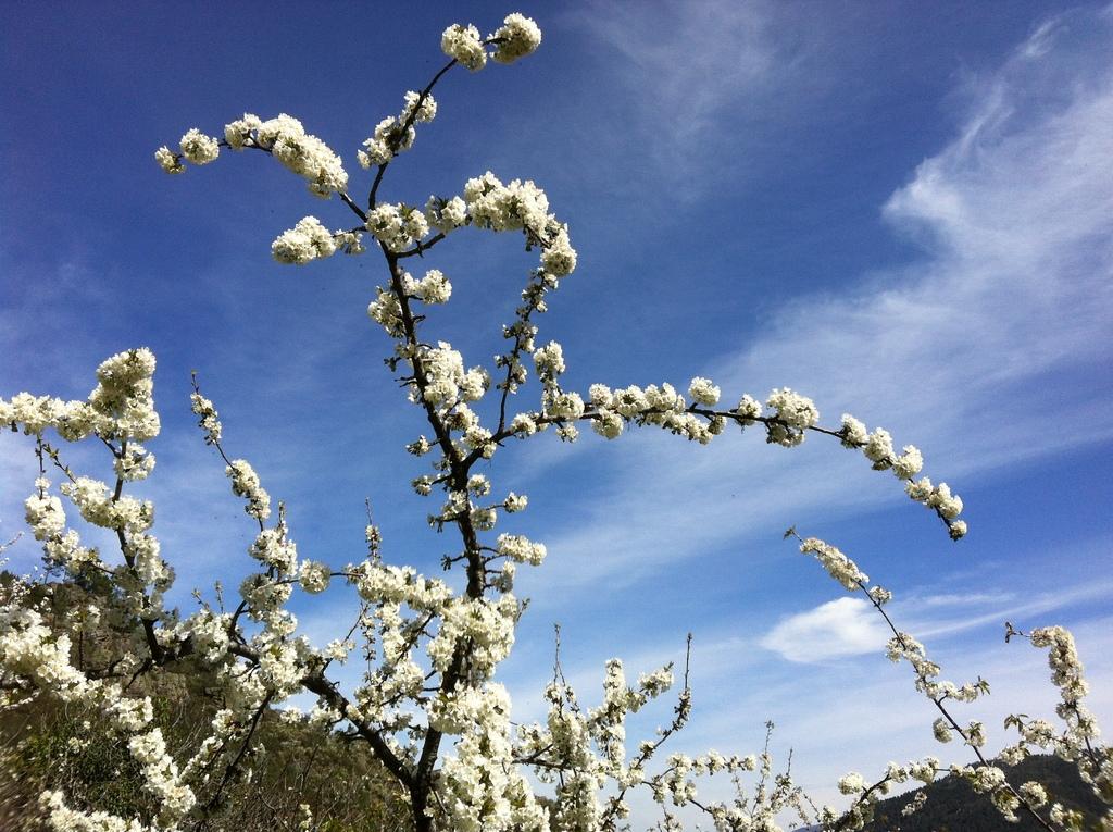 Flor de claudieira