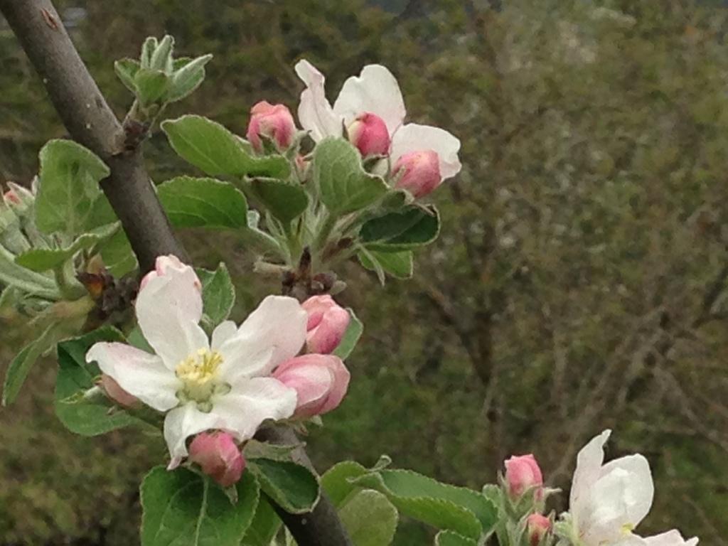 Flor de mazaira