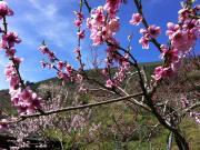 Flor de pavieira