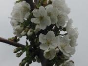 Flor de cerdeira