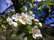 Flor de pereira